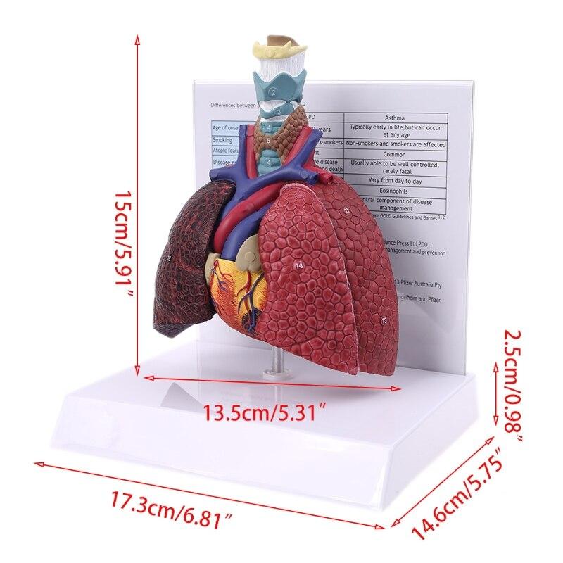 modelo anatomico do sistema respiratorio para a escola tamanho real de pulmao humano