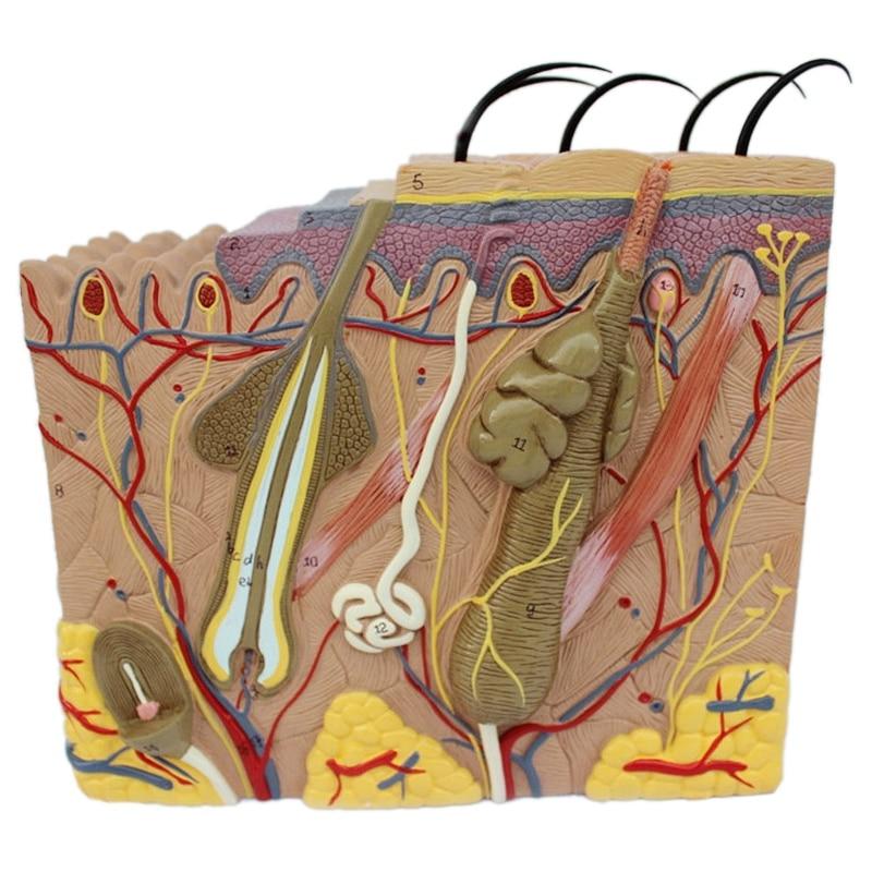 Modelo de pele, estrutura da pele e do cabelo ampliar modelo anatômico modelo anatomia para a ciência sala de aula estudo exibir ensino médico m