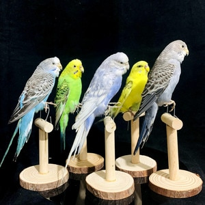 Real Taxidermy Stuffing Eurasian Melopsittacus Budgerigar Budgie Parrot specimen Sketch drawing Teaching/Decoration&&