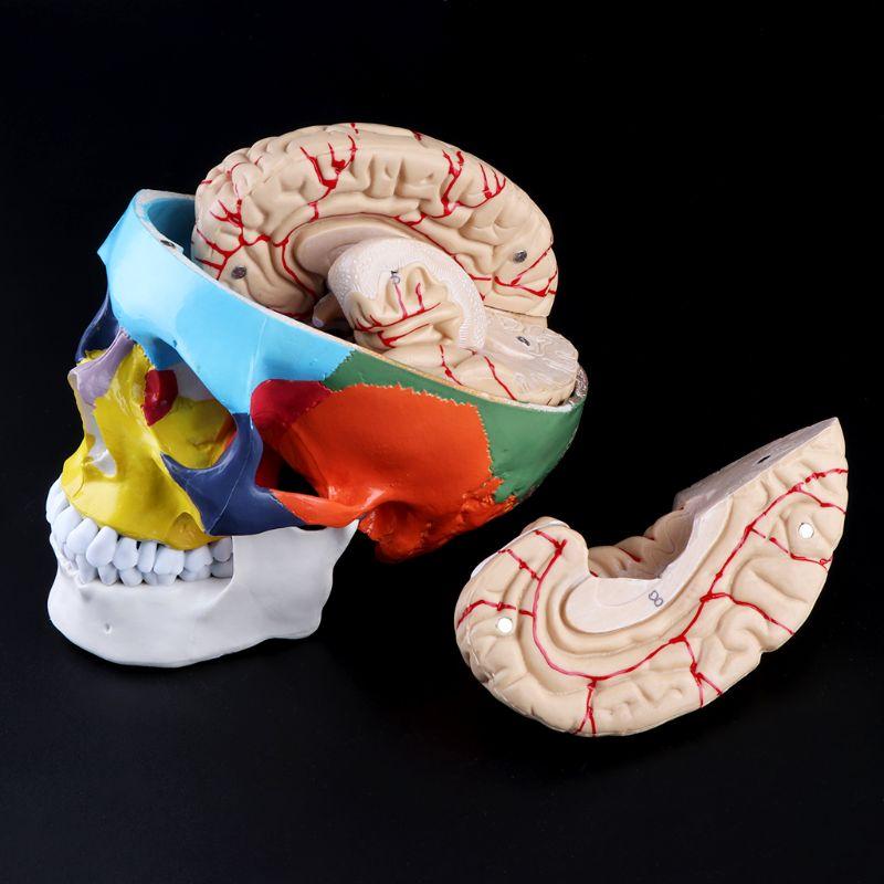 1:1 Scale Colorful Human Skull Skeleton Adult Head Model with Brain Stem Anatomy Medical Teaching Tool Supply