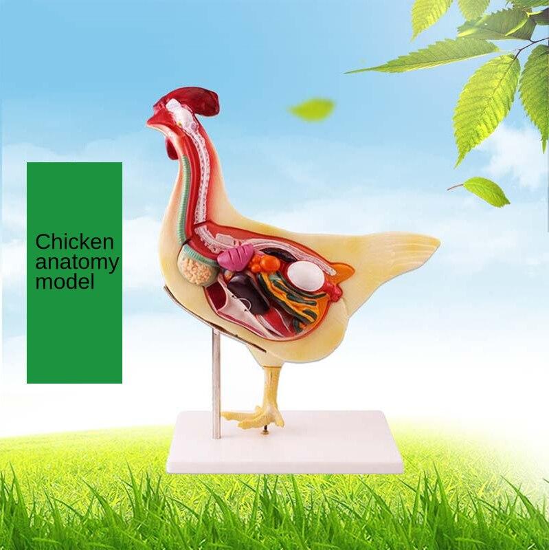Animal husbandry and veterinary anatomy model, medical animal anatomy model, chicken anatomy model motivational anatomy