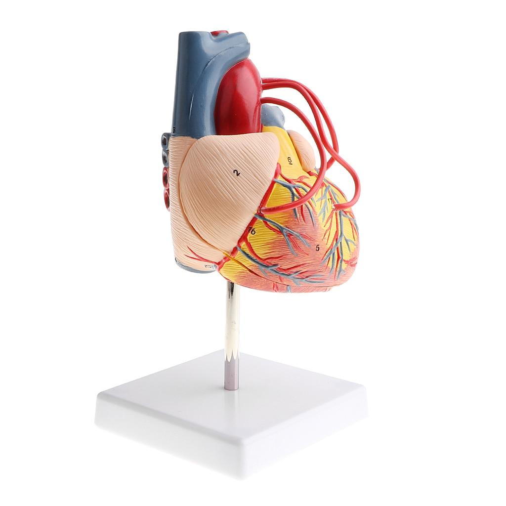 Equipo de Estudio de laboratorio 11, corazón humano desmontable, Bypass, modelo de venas de ventriculares, juguete educativo de Ciencia