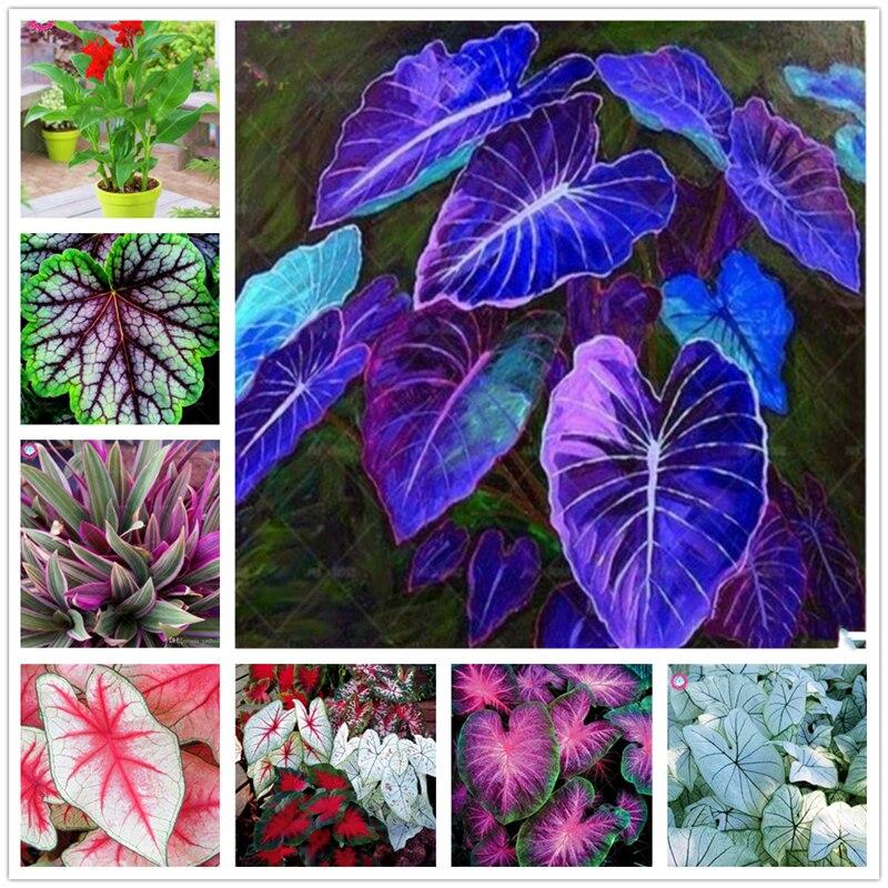 Sales de baño de Flores Negras de plantas Esencia de hojas grandes 100 Uds XZZ-13