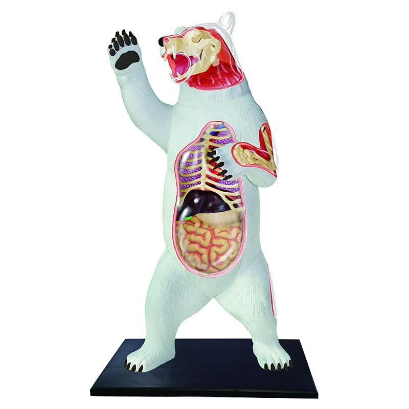 4d oso modelo de anatomía Animal esqueleto médico enseñanza ayuda laboratorio educación aula equipo maestro rompecabezas juguete de ensamblaje