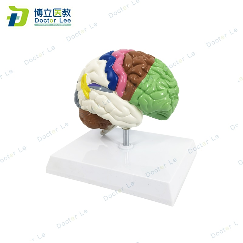 Life size half right brain model with different functional area anatomical brain model  for medical science teaching human 1 1 right hemisphere functional area anatomy human brain model medicine teaching mdn006