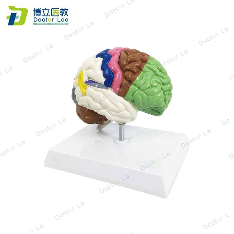 Modelo de cerebro medio derecho de tamaño real con diferentes áreas funcionales, modelo anatómico del cerebro para enseñanza de ciencia médica
