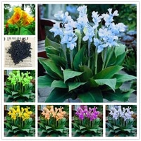 Graines de Canna perenne  100 pieces  plantes bonsai de jardin  Fruits et legumes  fleur de celosia  encens parfume