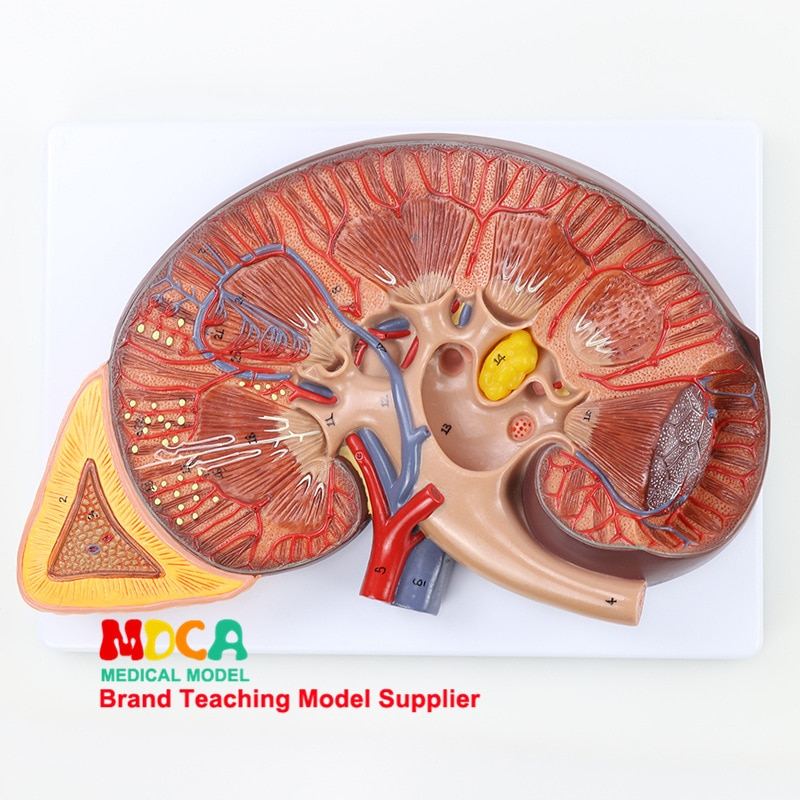 3x humano kidne glândula adrenal modelo anatômico urologia departamento rim modelo médico equipamentos de ensino 2 partys