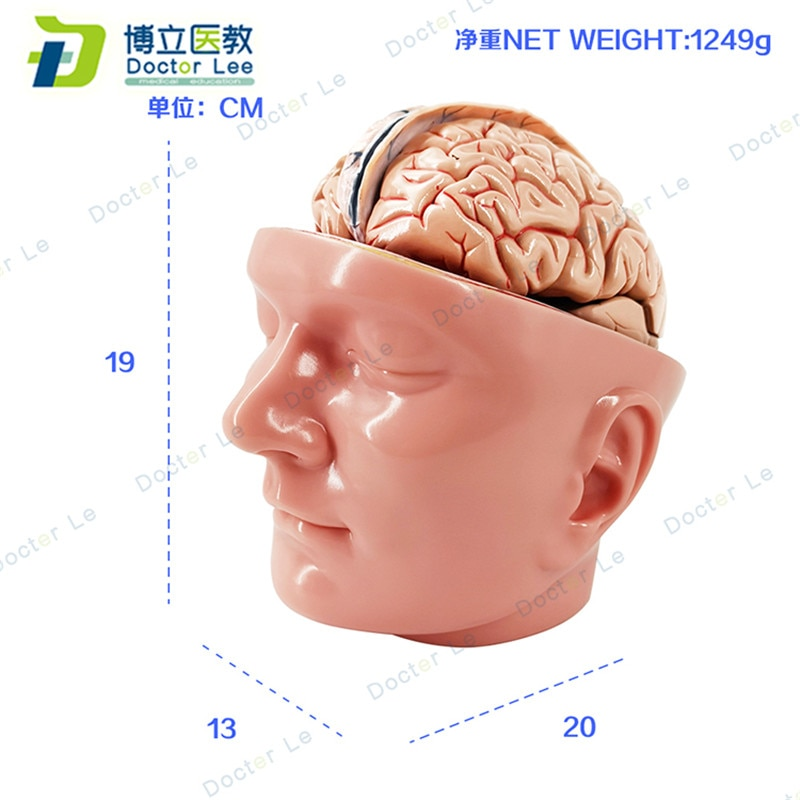 Plastic Human Head Model with 9 parts Brain Anatomy Model and Vessels for Medial Teaching and Learning new products plastic female pelvis anatomy skeleton model with muscle and color area for medical teaching and learning
