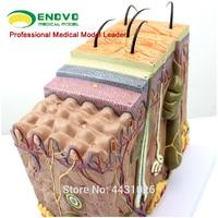 ENOVO The enlarged version of human skin tissue anatomy model minimally invasive skin cosmetic surgery teaching
