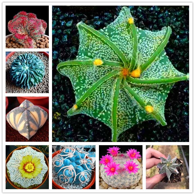 100Pcs Mixed Cactus Seeds Garden Nature Plants Home Purify The Air Fragrance Succulent Flower Fruits