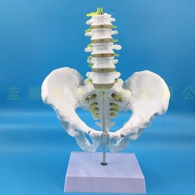 Natural masculino pelvis com dois/cinco vértebras lombares modelo modelo de esqueleto modelo pélvico lombar vértebras do fêmur