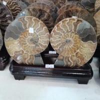 18 22cm conch chrysanthemum ammonite conch sea snail specimen whelk fossil cutting natural conch home decoration pedestal