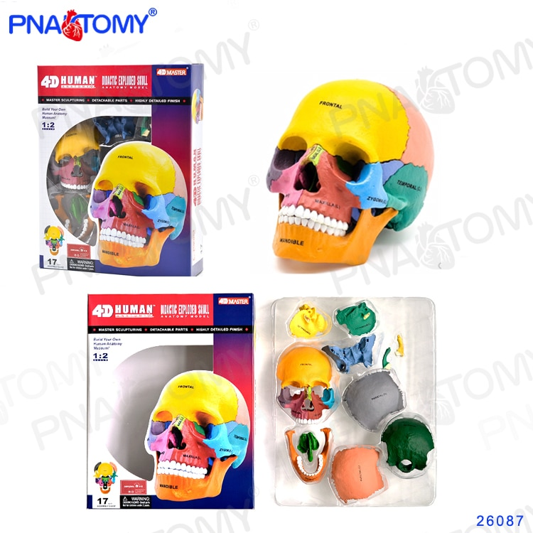 Human Exploded Colored Skull Model 17 Parts Anatomy Model Detachable DIY Toy Educational Equipment With Manual 4D MASTER iso deluxe adult skull with colored bones skull model