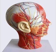 Humain, crâne avec vaisseau sanguin musculaire et nerveux, cerveau de la section de la tête, modèle danatomie humaine. École denseignement médical
