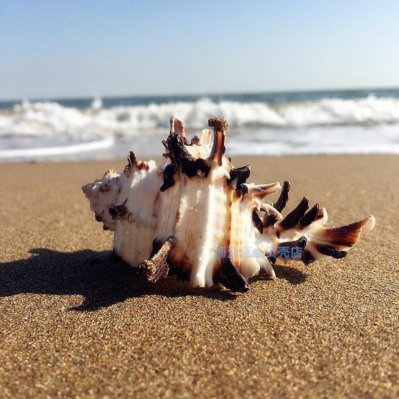 Natural Conch Shell Bone Snail 7-11 CM Black Spine Snail Fish Tank Home Mediterranean Specimens Micro-landscape Decoration Craft