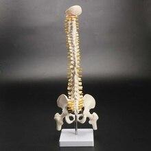 Coluna vertebral humana 45cm, modelo pélvico modelo anatômico humano coluna vertebral modelo + suporte fexível