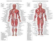 Affiches tendance du système musculaire humain tableau danatomie en soie corps humain école Science médicale fournitures éducatives décoration de la maison