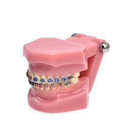 1 peça Modelo Dental Dente Dentes Dental Modelo de Estudo Dental Modelo Ortodôntico para Comunicação Com O Paciente Frete grátis
