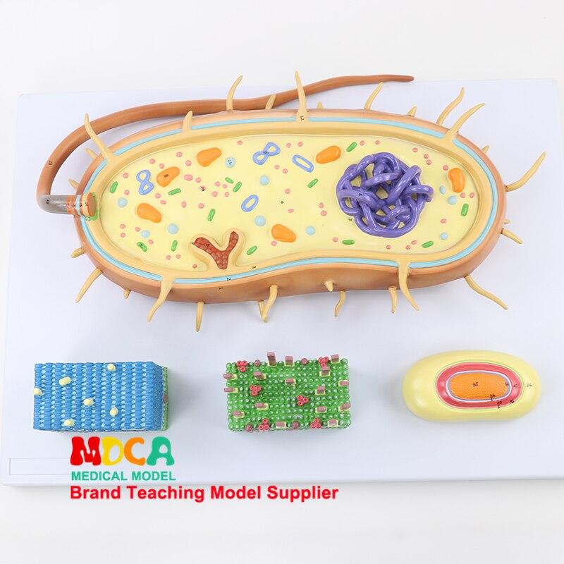 MXJ001 Medical Teaching of Chromosome Bioflagella Model of Bacterial Nuclear Model