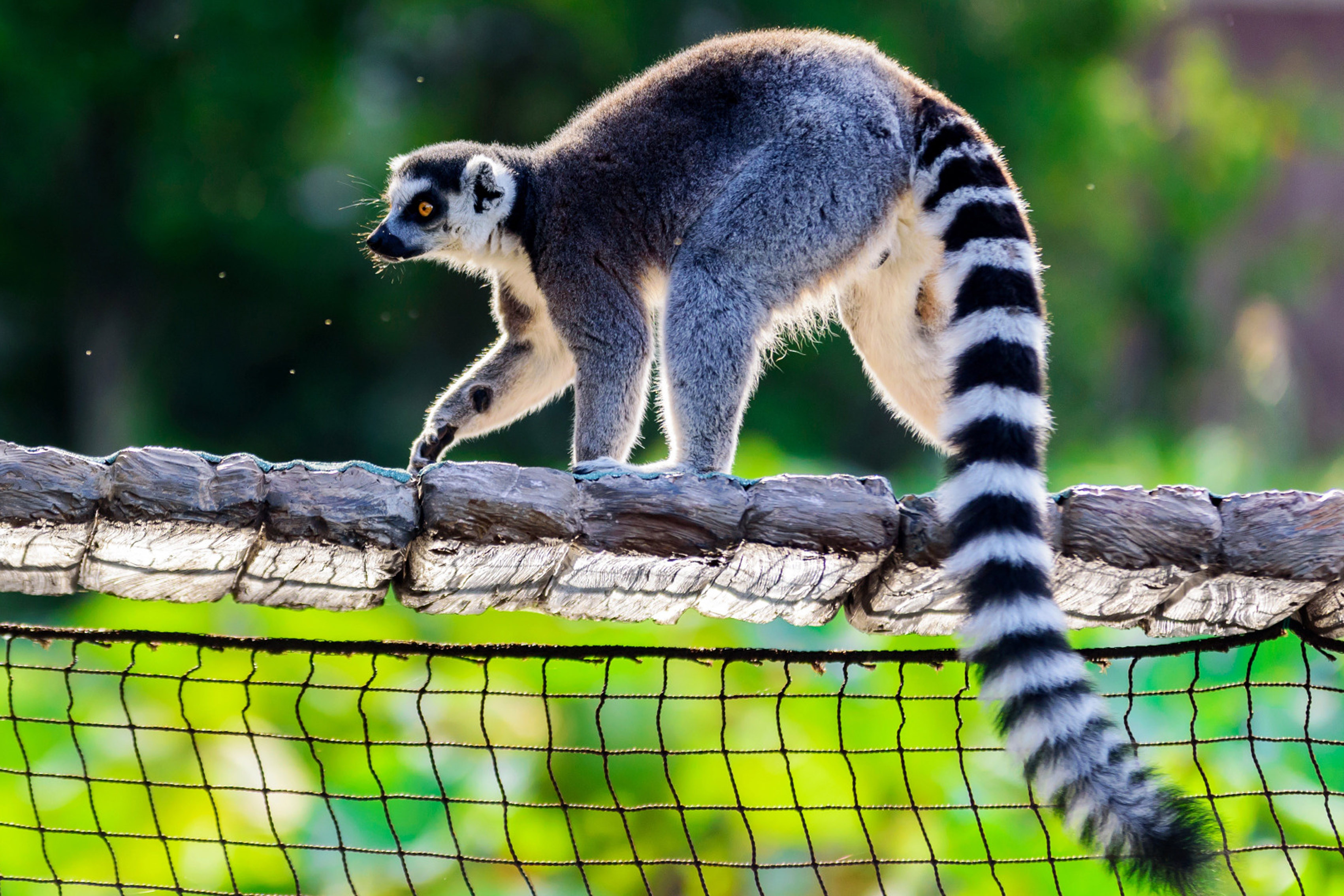 Decoración del hogar lemur setka poza svet fon zoopark tela de seda póster impreso DW190411