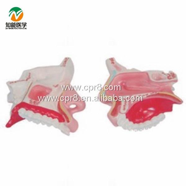 BIX-A1051 The Nasal Anatomy Model G015