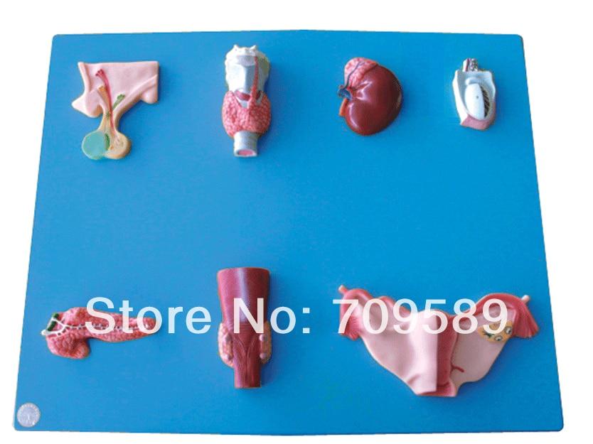 Advanced Anatomical Endocrine Organ model