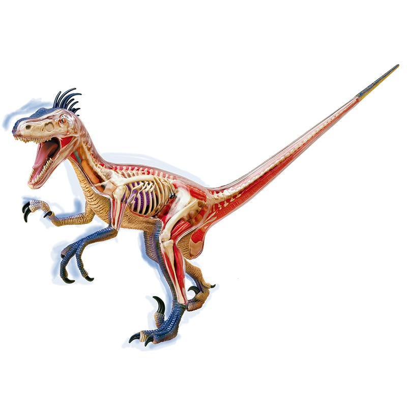 4D Big Velociraptor Intelligence Assembling Toy Animal Organ Anatomy Model Medical Teaching DIY Popular Science Appliances
