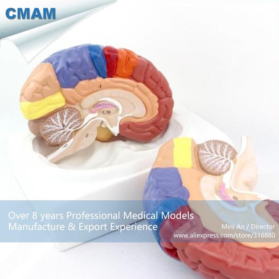 12409/tamaño real modelo de cerebro de color Regional-2 partes con Base, modelos anatómicos educativos de ciencia médica
