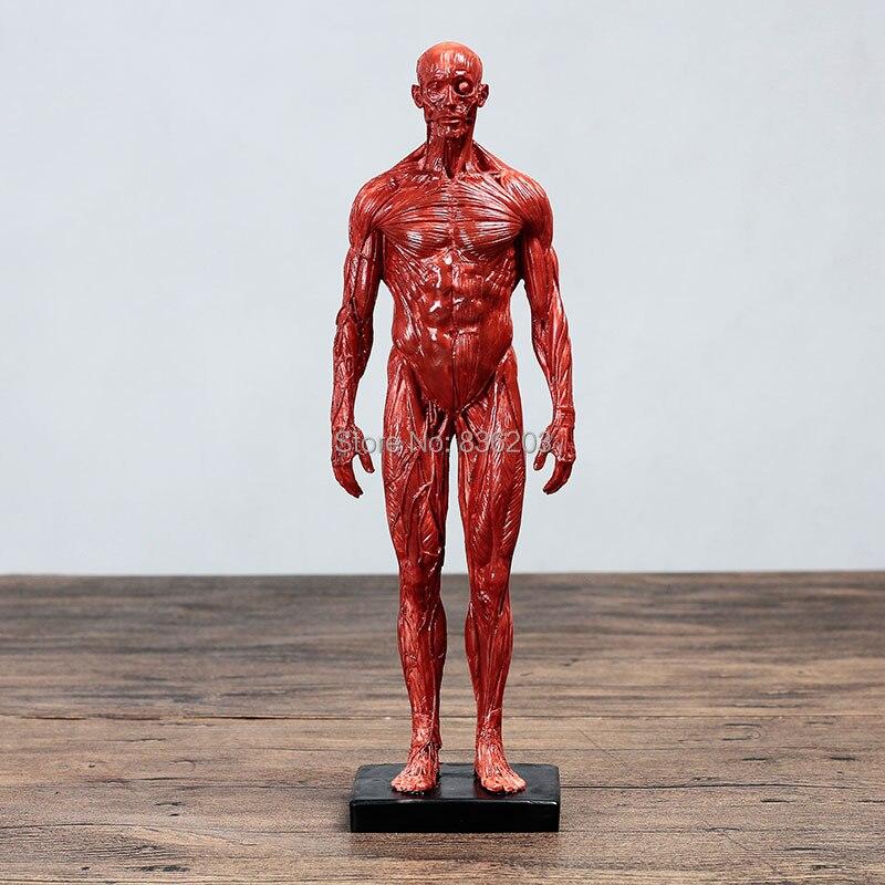 30cm anatomia humana masculino fêmea carne anatomia resina comparativa crânio cérebro músculo esqueleto material de ensino para pintura presente