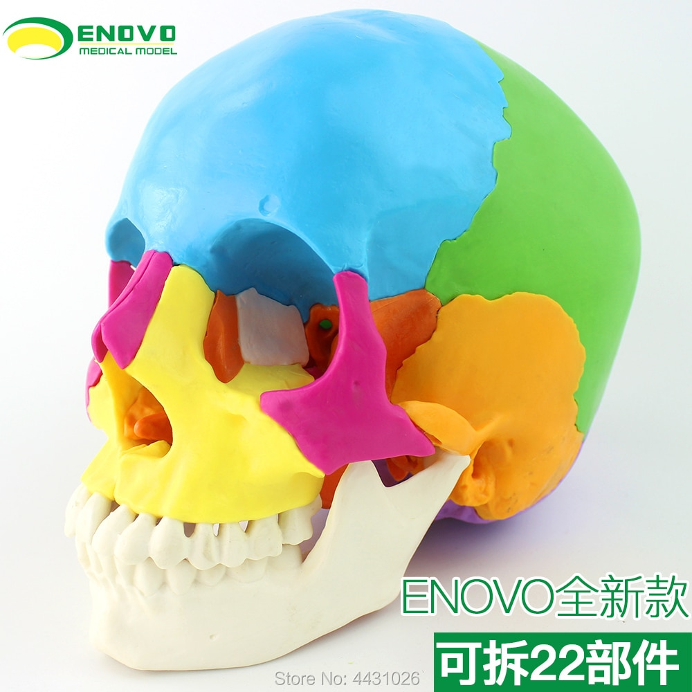 ENOVO Medical human.skull model micro plastic surgery department of Stomatology skull 22 parts can be removed