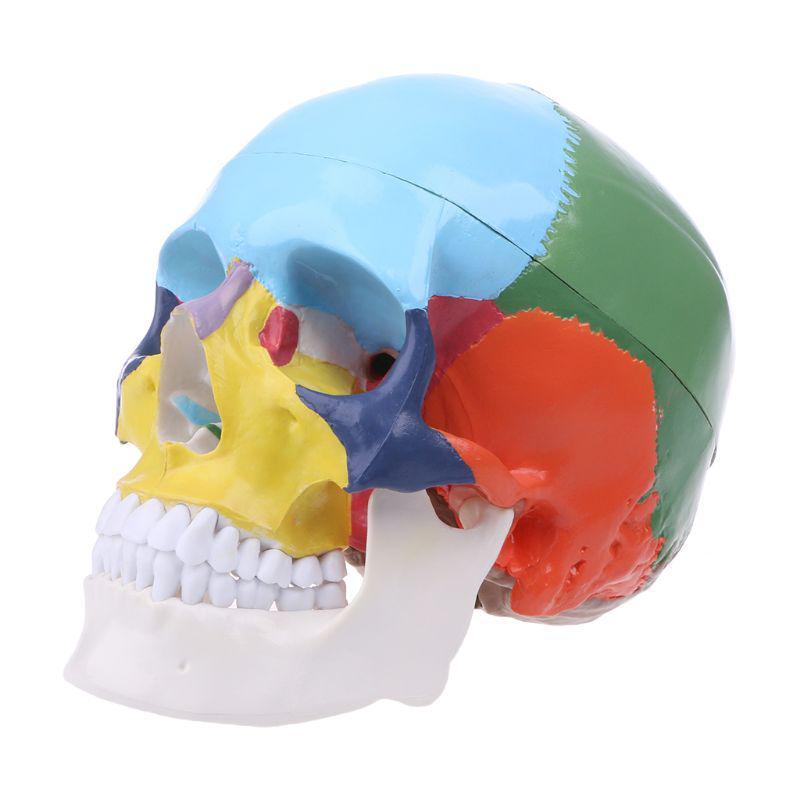 Модель с цветным черепом Размер жизни 3 части анатомических моделей модель
