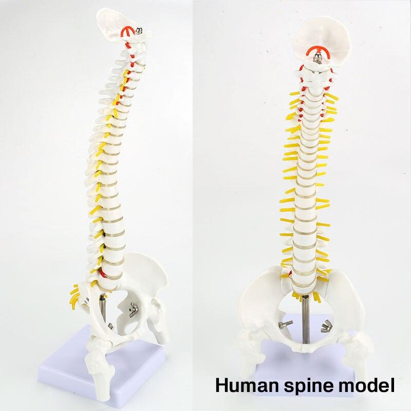 Modelo de columna Vertebral PVC Doctor anatomía Hospital escuela enfermera médica columna ósea ayuda de enseñanza estudiante