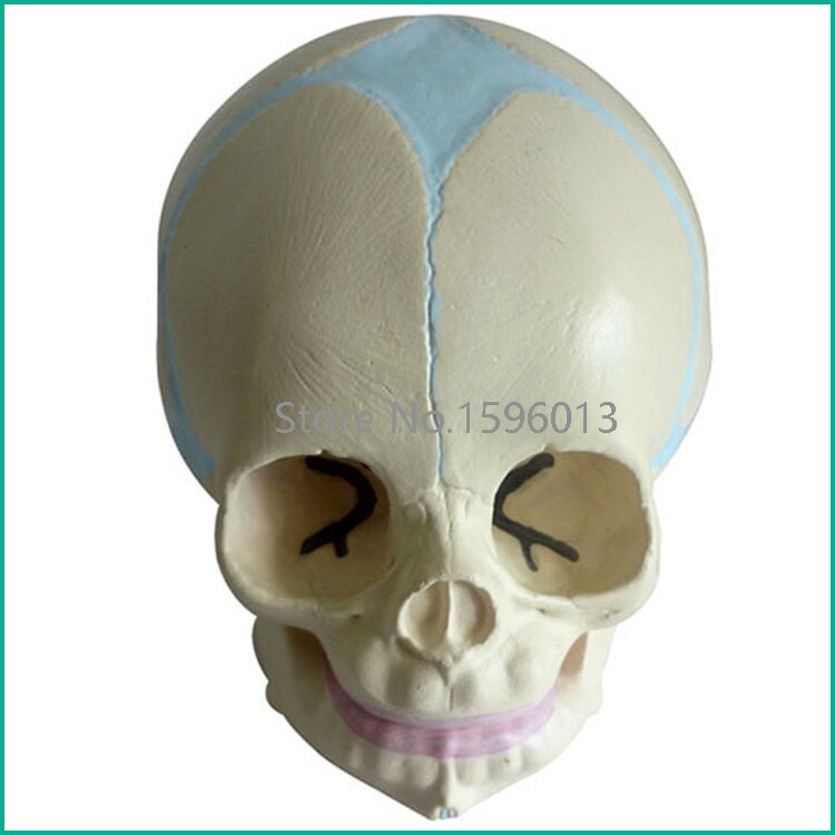 Modelo de cráneo infantil, modelo de cráneo Fetal/bebé