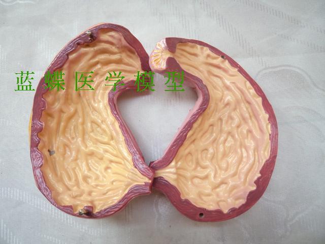 Модель желудка и профиля, модель анатомии желудка, модель желудка, модель структуры желудка