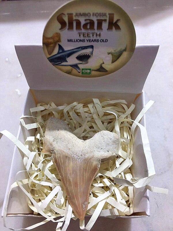 Красивый природный животный ископаемый Акула ископаемый зуб минеральный образец для коллекции в подарок украшение