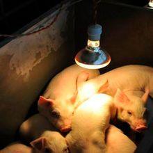 Освещение для фермы тепловое сохранение свиньи курица тепловая лампа инфракрасный луч светодиодный люк собака кошка 100/150/200/250 Вт освещение среды обитания
