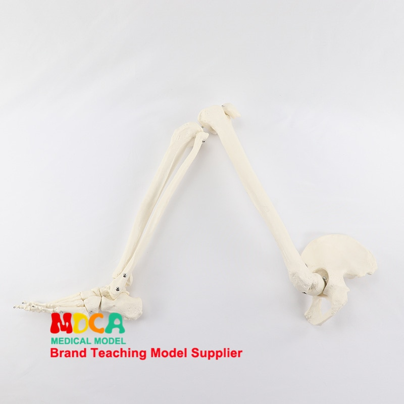 Foot and foot joint model with tibia fibula and femur pelvis human skeleton model medical teaching MJG006 new products plastic female pelvis anatomy skeleton model with muscle and color area for medical teaching and learning