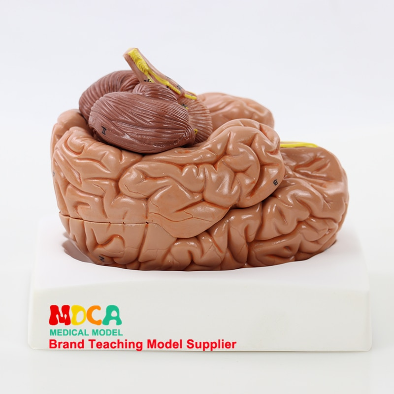 Human body splitting 8 parts 1:1 brain assembling cerebral artery anatomy human brain model medicine teaching MDN005 human 1 1 right hemisphere functional area anatomy human brain model medicine teaching mdn006