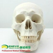 ENOVO art médical humain. Modèle de crâne modèle anatomique de crâne asiatique échantillon dos