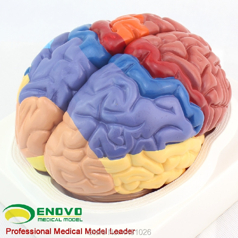 ENOVO A model of brain tissue anatomy in the brain model of cerebral cortex enovo medical proteinuria model human kidney model renal corpuscle anatomy of urologic hypertension