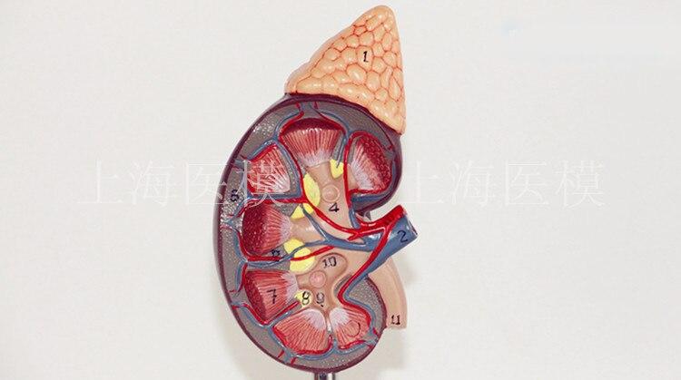 Modelo de rim com glândula adrenal naturalmente grande rim modelo de estrutura do sistema urinário