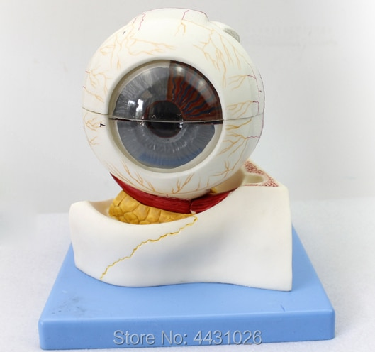 ENOVO The ophthalmic structure of medical human body magnifies the model of ophthalmology of the ophthalmology department