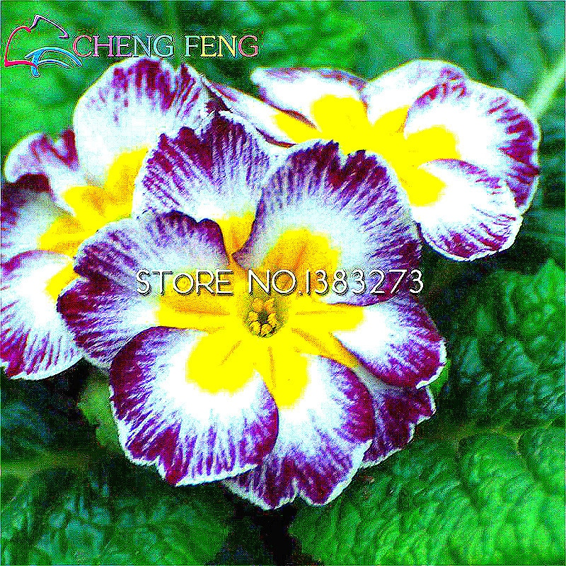 Free Shipping 100seeds Primula Malacoides Flowers Seeds For Garden China Rare Home Perennial Flower