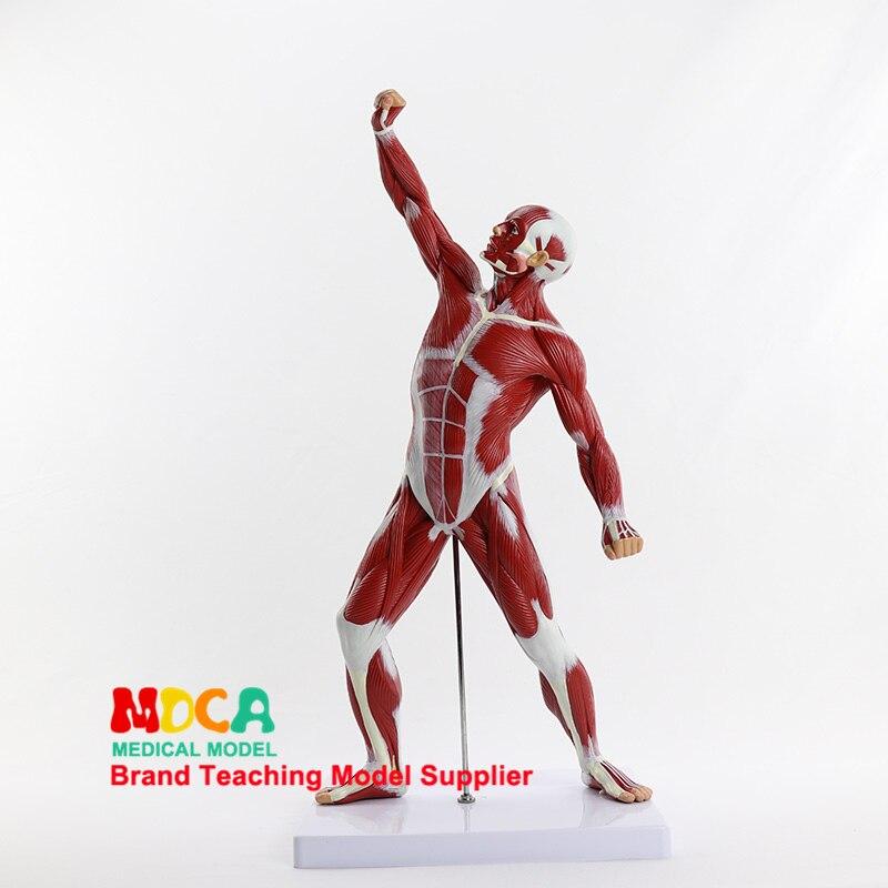 Художественная разработка эскиз человеческое тело мышцы человека модель спорт Презентация тело Рисование медицинское обучение, MJRR001