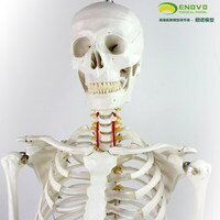Skeletal Specimen Model of Human Bone Model