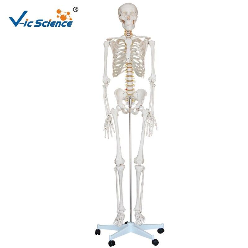 Vida szie 180cm médico esqueleto plástico humano modelo ciência médica ensino para estudantes