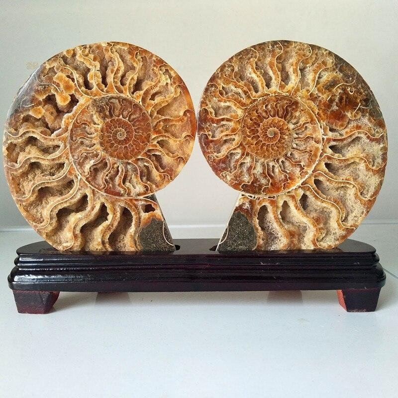 Collection de fossiles en pierre naturelle   Une coquille de pierre naturelle de conie, spécimen de minéral, décoration de maison