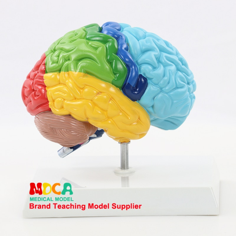 Human 1:1 Right Hemisphere Functional Area Anatomy Human Brain Model Medicine Teaching MDN006 human 1 1 right hemisphere functional area anatomy human brain model medicine teaching mdn006