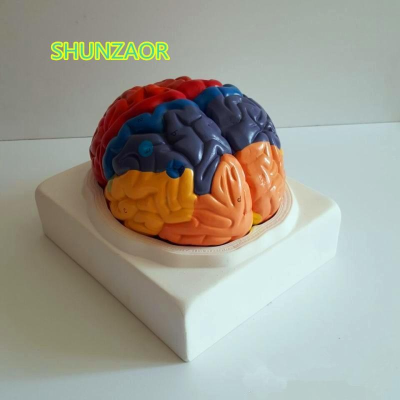 PVC modelo de cerebro función cerebral zona modelo humanos modelo anatómico cerebral de la Escuela de Medicina
